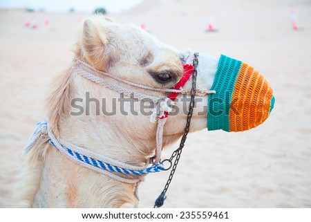 "Camel in the Red sand ""Arabian desert"" near Dubai, United Arab Emirates - stock photo"