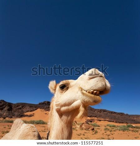 Camel in the Sahara desert - stock photo
