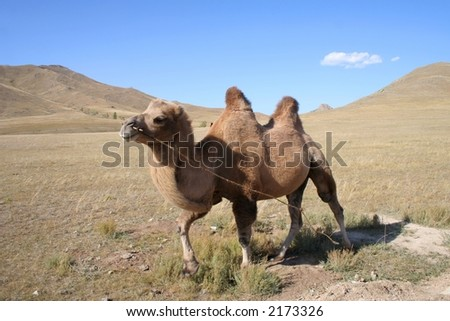 Camel in the steps of Mongolia - stock photo