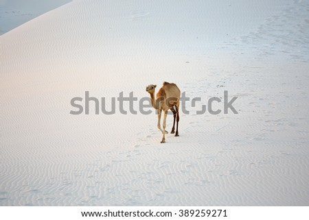 Camel in the white sand desert