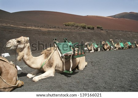 Camel in Timanfaya fire mountains in Lanzarote, Canary Islands - stock photo