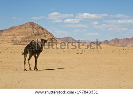 Camel in Wadi Rum Desert,Jordan - stock photo