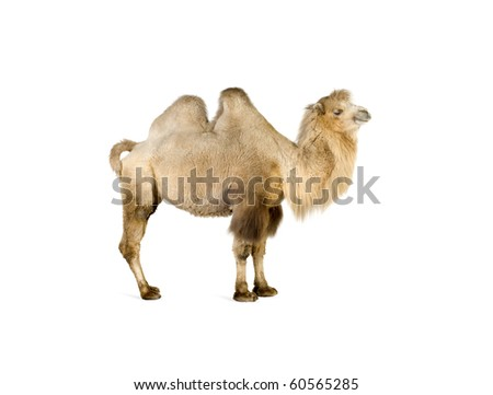 camel isolated on a white background - stock photo