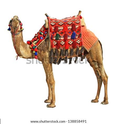 Camel  isolated on white background - stock photo