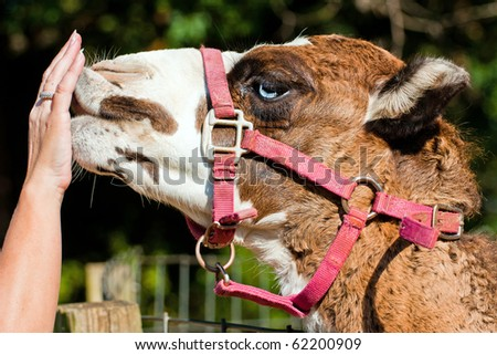 Camel nuzzles hand. - stock photo
