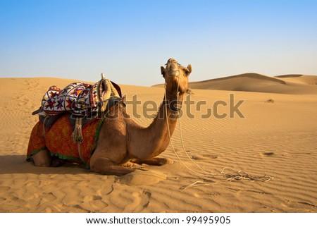 camel on the Thar desert in India - stock photo