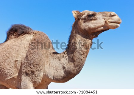 Camel portrait in the sahara desert, closeup, light blue sunny sky. - stock photo
