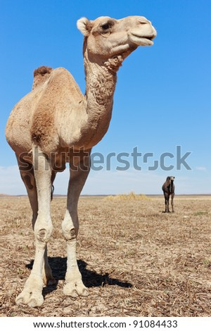Camel portrait in the sahara desert, light blue sunny sky. - stock photo
