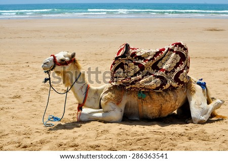 camel rest on the beach sand in morocco agadir taghazout