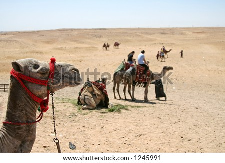 Camel ride at the desert at Cairo, Egypt