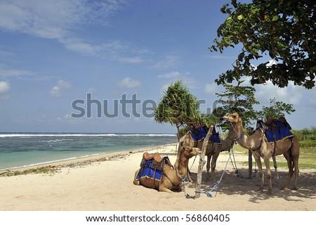 Camel Ride on the beach - stock photo