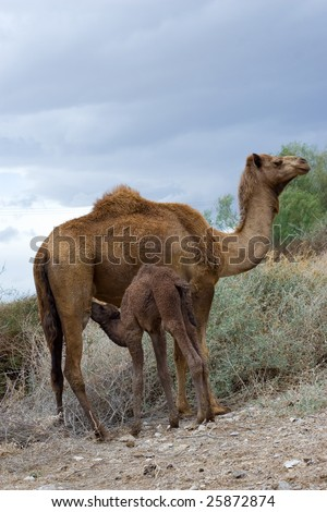 Camel's mother breastfeeding camel's baby