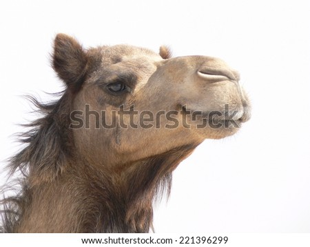 Camel's smiling face epitomizing holidays, sand and fun - stock photo