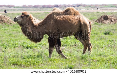 Camel. Ship of desert in zoo, safari, or park