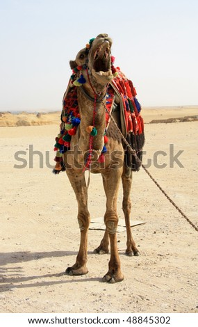 Camel shows some teeth - stock photo