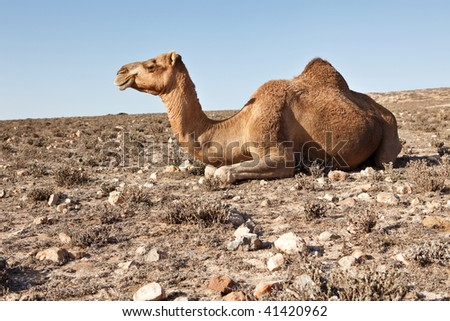 Camel sitting in a desert - stock photo