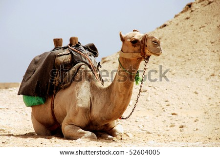 Camel sitting in Egypt - stock photo