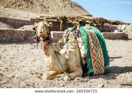 Camel sitting in Egypt. Camel lay with traditional Bedouin saddle in Egypt - stock photo