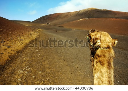 camel sitting in the Timanfaya National Park - stock photo