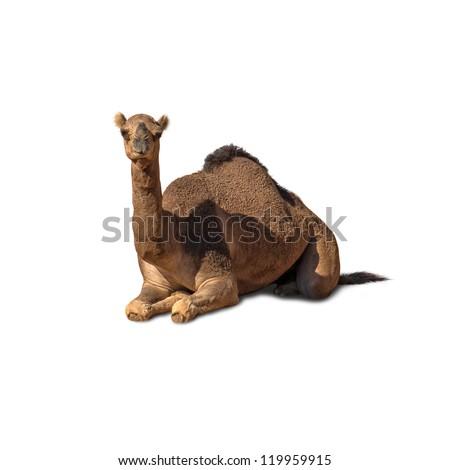 Camel Sitting Isolated On White Background - stock photo