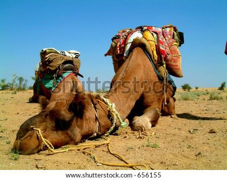 Camel sleeping during a desert safari pause - stock photo