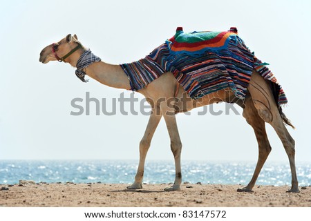 Camel standing at Red Sea beach coast with blue sky, Egypt. - stock photo
