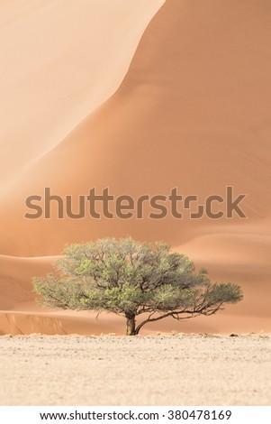 Camel Thorn Tree in Sossusvlei , Namibia. - stock photo