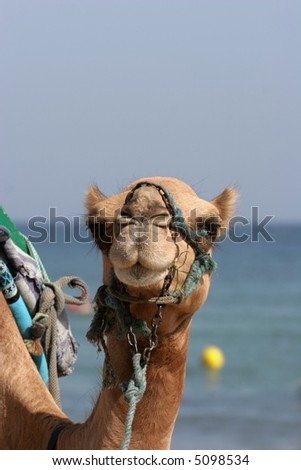 Camel walking at the beach in Monastir, Tunisia. - stock photo