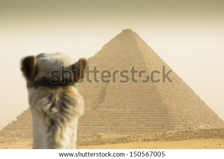 camel watching the Cheops pyramid  in sandstorm - stock photo