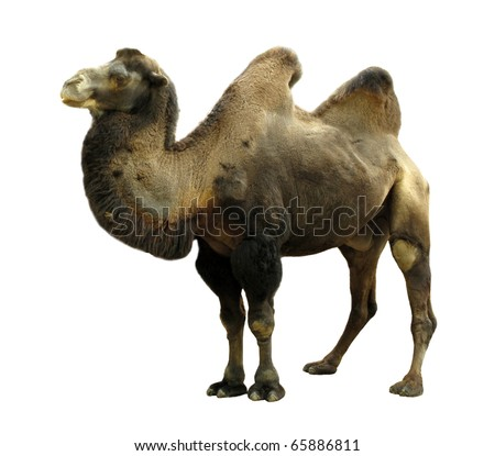 Camel with two humps Bactrian camel - stock photo