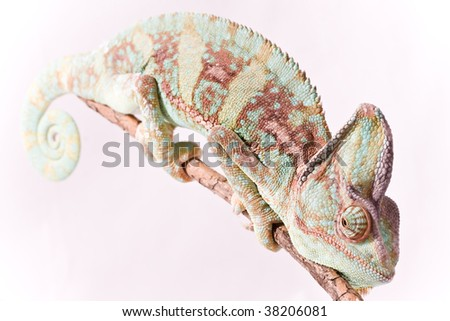 cameleon on withe background - stock photo