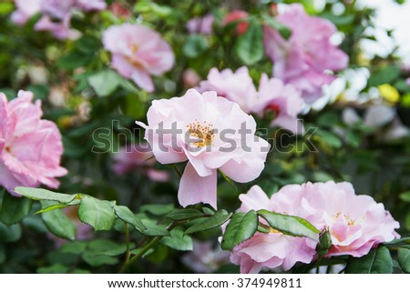 Camelia in garden, with green leaves, horizontal image - stock photo