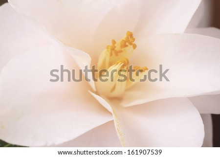 Camellia - stock photo