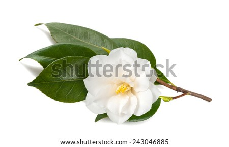 Camellia branch with  Flower Isolated on White Background - stock photo