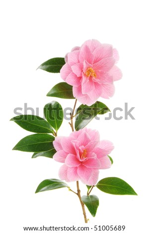 Camellia branch with two magenta flowers against white - stock photo