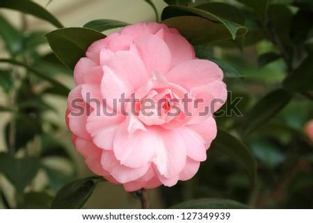 Camellia flower - stock photo
