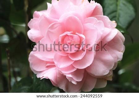 Camellia flower and raindrop,closeup of pink camellia flower in full bloom with raindrop - stock photo