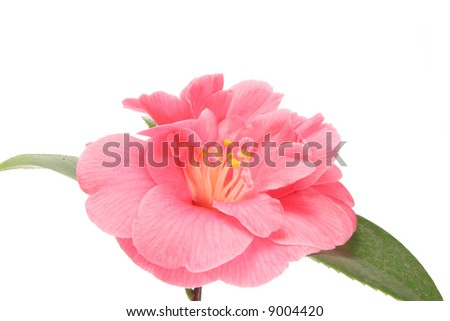 Camellia flower close up