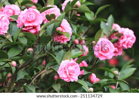 Camellia flowers and buds,many pink camellia flowers blooming in the garden with buds - stock photo