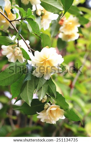 Camellia flowers and buds,yellow camellia flowers blooming in the garden with raindrop - stock photo