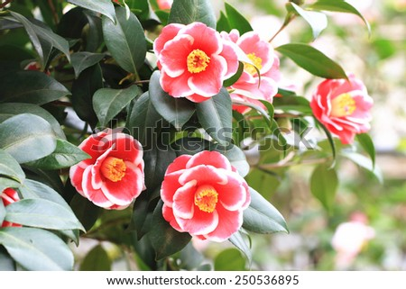 Camellia flowers,beautiful red with white camellia flowers blooming in the garden - stock photo