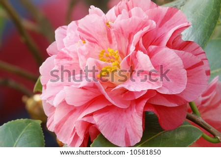 Camellia Japonica 'Lady Laura' Rose Form Japanese Camellia Horizontal Close-Up - stock photo
