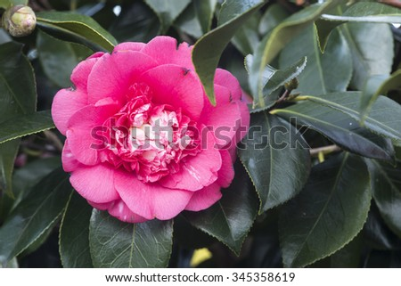 Camellias in the tree - stock photo