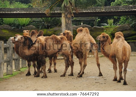 Camels - stock photo