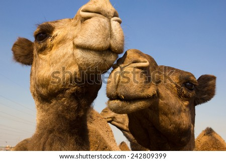 Camels and a pale blue sky, Kuwait - stock photo