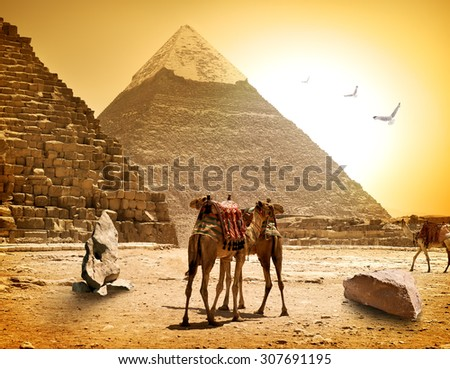 Camels and pyramids at the hot sunny evening - stock photo