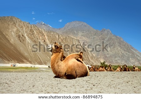 Camels are relaxing in the sand.  Nubra Valley. Ladakh. India - stock photo