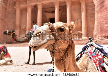 Camels are waiting for the tourists in Petra, Jordan