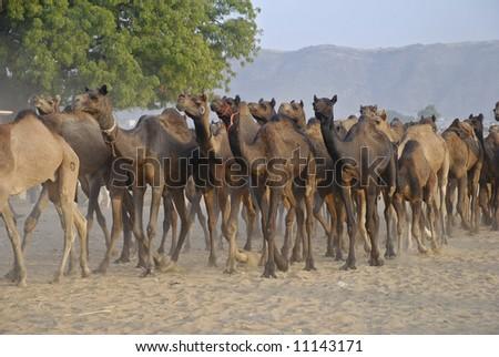 Camels at annual camel fair pushkar - stock photo