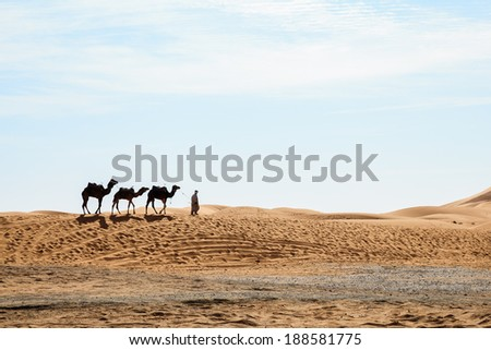 Camels at erg shebby in morocco - stock photo
